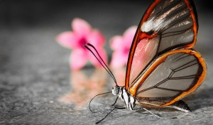 glasswing+butterfly+1