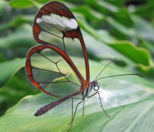 Greta-oto-Glasswing